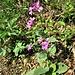Lunaria annua L. <br />Brassicaceae<br /><br />Lunaria meridionale. Medaglie del Papa<br />Lunaire annuelle, Monnaie du pape <br />Garten-Mondviole, Zweijährige Mondviole, Silberling <br />