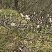 Amelanchier ovalis Medik<br />Rosaceae<br /><br /><br />Pero corvino<br />Amélanchier<br />Felsenmispel, Felsenbirne