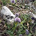 Globularia cordifolia L. <br />Plantaginaceae<br /><br />Vedovelle celesti<br />Globulaire à feuilles en cœur <br />Herzblättrige Kugelblume <br />