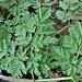 Anthriscus sylvestris (L.) Hoffm. <br />Apiaceae<br /><br />Cerfoglio selvatico<br />Cerfeuil des prés <br />Wiesen-Kerbel <br />