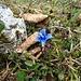 Die Schneeflöcklein schmelzen auf den Blütenblättern des Enzian