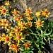 Herrliche Alpenblumen im Geröll