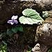 Viola reichenbachiana Boreau <br />Violaceae<br /><br />Viola silvestre<br />Violette des forêts <br />Wald-Veilchen <br />