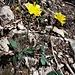 Hieracium glaucinum aggr. <br />Asteraceae<br /><br />Sparviere precoce<br />Epervière précoce <br />Bläuliches Habichtskraut, Frühblühendes Habichtskraut <br />