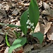 Convallaria majalis L.<br />Asparagaceae<br /><br />Mughetto<br />Muguet<br />Maiglöckchen, Meierisli
