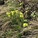 Biscutella laevigata L.<br />Brassicaceae<br /><br />Biscutella montanina<br />Lunetière lisse, Biscutelle<br />Glattes Brillenschötchen