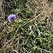 Globularia cordifolia L.<br />Plantaginaceae<br /><br />Vedovelle celesti<br />Globulaire à feuilles en cœur<br />Herzblättrige Kugelblume