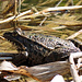 Eine rund 20cm lange Kröte an der Sihl.