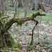 Baum-Windhund