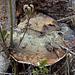 Mehrfach durchwachsener Baumpilz