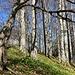 am reich mit Bärlauch bestückten Buchenwald entlang ...