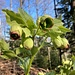 eine sehr häufige Jurablume - im farbigen Blühstadium