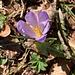 ein violettes Einzelexemplar - leitet über ...