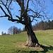 in Mitleidenschaft gezogener - grosser Einzelbaum - mit enormer Bodenverbindung