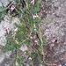 Erica carnea L. <br />Ericaceae<br /><br />Erica carnicina<br />Bruyère carnée <br />Schneeheide, Erika <br />