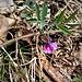 Lathyrus linifolius (Reichard) Bässler <br />Fabaceae<br /><br />Cicerchia montana<br />Gesse des montagnes<br />Berg-Platterbse <br />