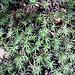 Plantago subulata L.<br />Plantaginaceae<br /><br />Piantaggine a cuscinetto<br /> --<br />Pfriemenblättriger Wegerich<br />