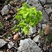 Euphorbia amygdaloides L.  Euphorbioaceae  Euforbia delle faggete Euphorbe des hêtraies  Mandelblättrige Wolfsmilch