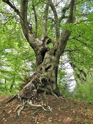Un faggio con un tronco spettacolare.