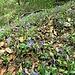 Vinca minor L. <br />Apocynaceae<br /><br />Pervinca minore<br />Petite pervenche <br />Kleines Immergrün <br />