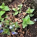Veronica chamaedrys L. <br />Plantaginaceae<br /><br />Veronica comune<br />Véronique commune <br />Gamander-Ehrenpreis <br />
