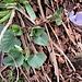 Viola reichenbachiana Boreau  Violaceae  Viola silvestre Violette des forêts  Wald-Veilchen