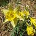 Wilde Narzissen - endemisch in der Eifel