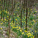 Daffodil-explosion