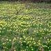 Daffodil-explosion. Alles vor der Tür.