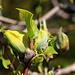 Andelfinger Schlosspark: Blüten des Gurkenbaums (Magnolia acuminata) , einer der Grundspezies für Züchtungen und Kreuzungen von Garten-Hybrid-Magnolienbäumen.
