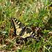 Schwalbenschwanz (Papilio machaon).