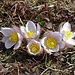 Besonders schöne Exemplare! Frühlings-Kuhschelle (Pulsatilla vernalis), auch Frühlings-Küchenschelle oder Frühlings-Anemone genannt.