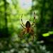 Spinne auf der Lauer