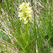 Dactylorhiza sambucina, orchidacee