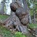 Mächtige Baumwarzen
