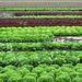 malerische Salatkopfreihen