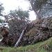 Blick zum Baumstamm zurück und zum kurzen Grätchen oben. Steil ging es noch weiter auf plattgedrücktem Gras runter