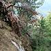 Ein umgestürzter Baum in der steilen Abstiegsroute zum Hauptsattel. Erst mussten wir die Wurzel übersteigen und den Stamm dann noch 2x. Vor 5 Jahren lag dieses Hindernis noch nicht im Weg.