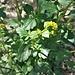 Barbarea vulgaris R. Br. <br />Brassicaceae<br /><br />Erba di Santa Barbara comune<br />Herbe de Sainte-Barbe, Barbarée commune <br />Gemeine Winterkresse, Gemeines Barbarakraut