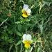 Viola arvensis Murray <br />Violaceae<br /><br />Viola dei campi<br />Pensée des champs <br />Acker-Stiefmütterchen <br />