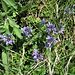Polygala alpestris Rchb. <br />Polygalaceae<br /><br />Poligala alpestre<br />Polygale alpestre <br />Voralpen-Kreuzblume <br />