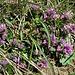 Polygala vulgaris L. <br />Polygalaceae<br /><br />Poligala comune<br />Polygale commun <br />Gemeine Kreuzblume, Wiesen-Kreuzblume <br />
