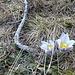 Pulsatilla alpina o più comunemente noto come Anemone alpino