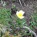 Pulsatilla alpina o più comunemente noto come Anemone giallo della montagna