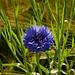 Kornblume (Cyanus segetum) Das schönste Blau der Welt / Il blu più bello del mondo