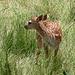 Ein junges Reh im Hirschpark WiIlisau.