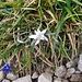 Sorpresa in cima al Colle Valsecchi. Una Stella Alpina! La prima volta che trovo una Stella Alpina sulle Grigne!