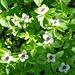 Am Wegrand die ersten typischen Fjällpflanzen: Schwedischer Hartriegel (Cornus suecica)