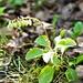 Seltene Blume am Wegrand: Birngrün oder Einseitswendiges Wintergrün (Orthilia secunda)