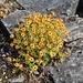 An feuchten Stellen wächst der Bewimperte Steinbrech (Saxifraga aizoides)